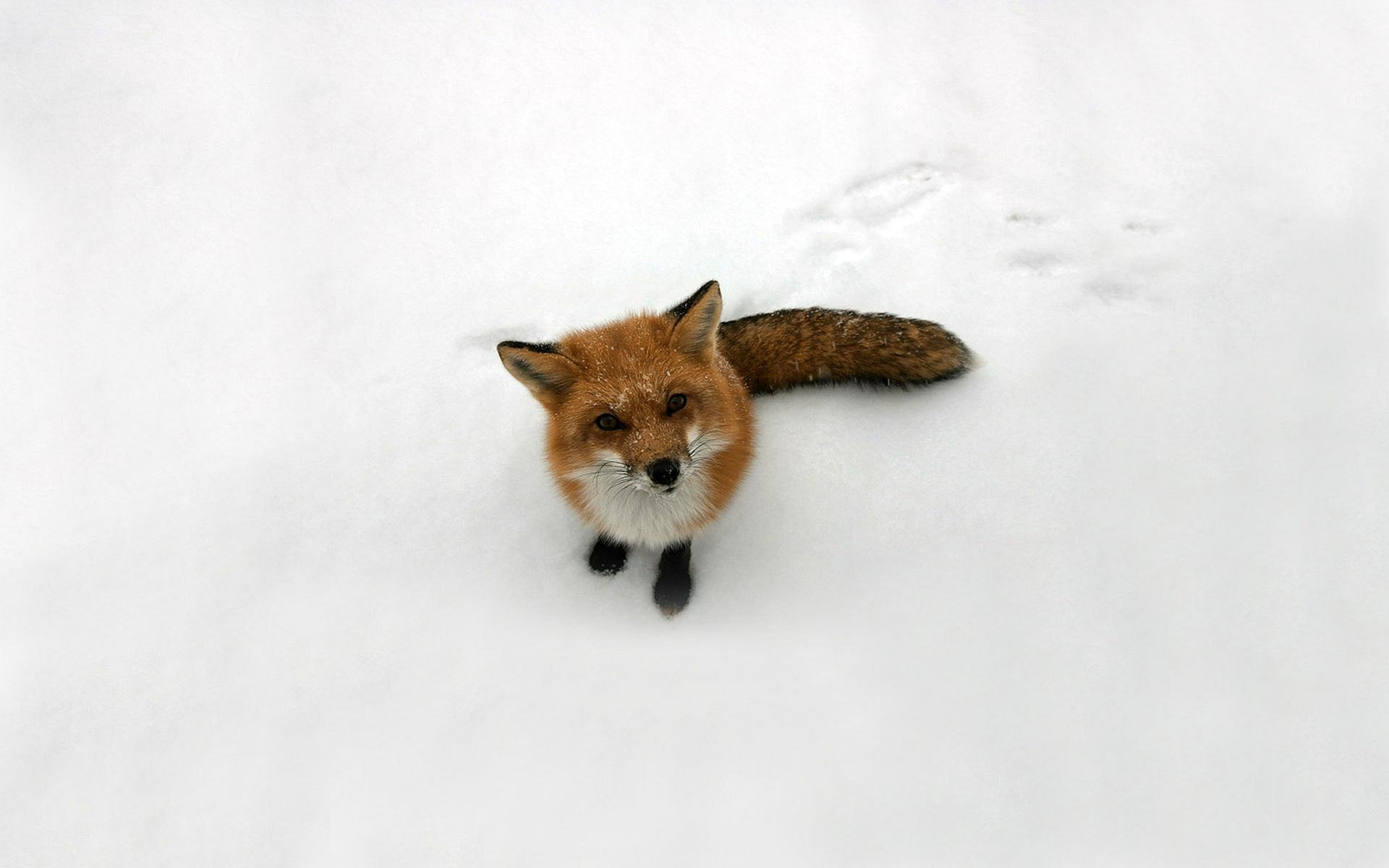 Fox Snow