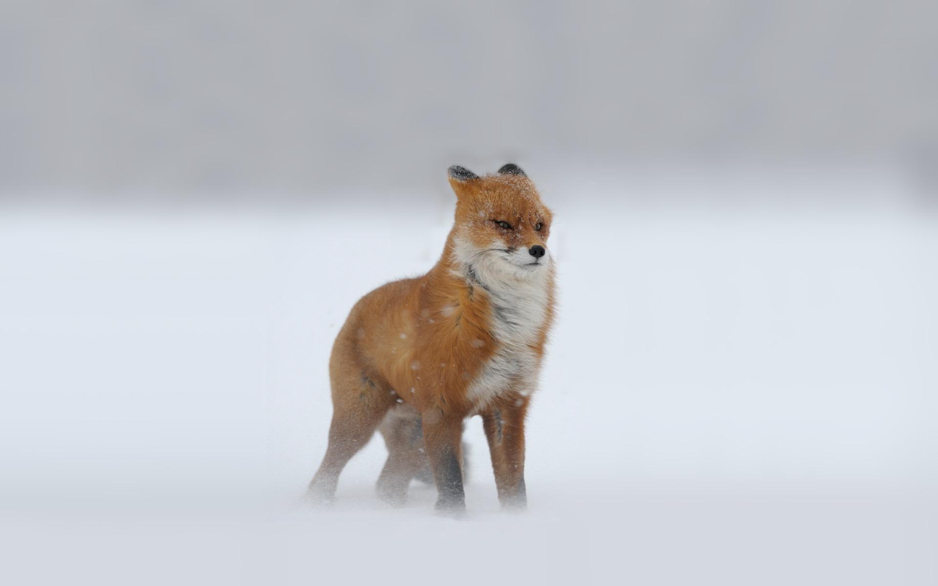 Fox snowstorm