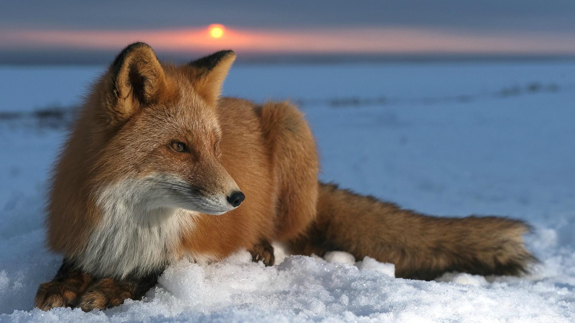 Fox Wallpaper