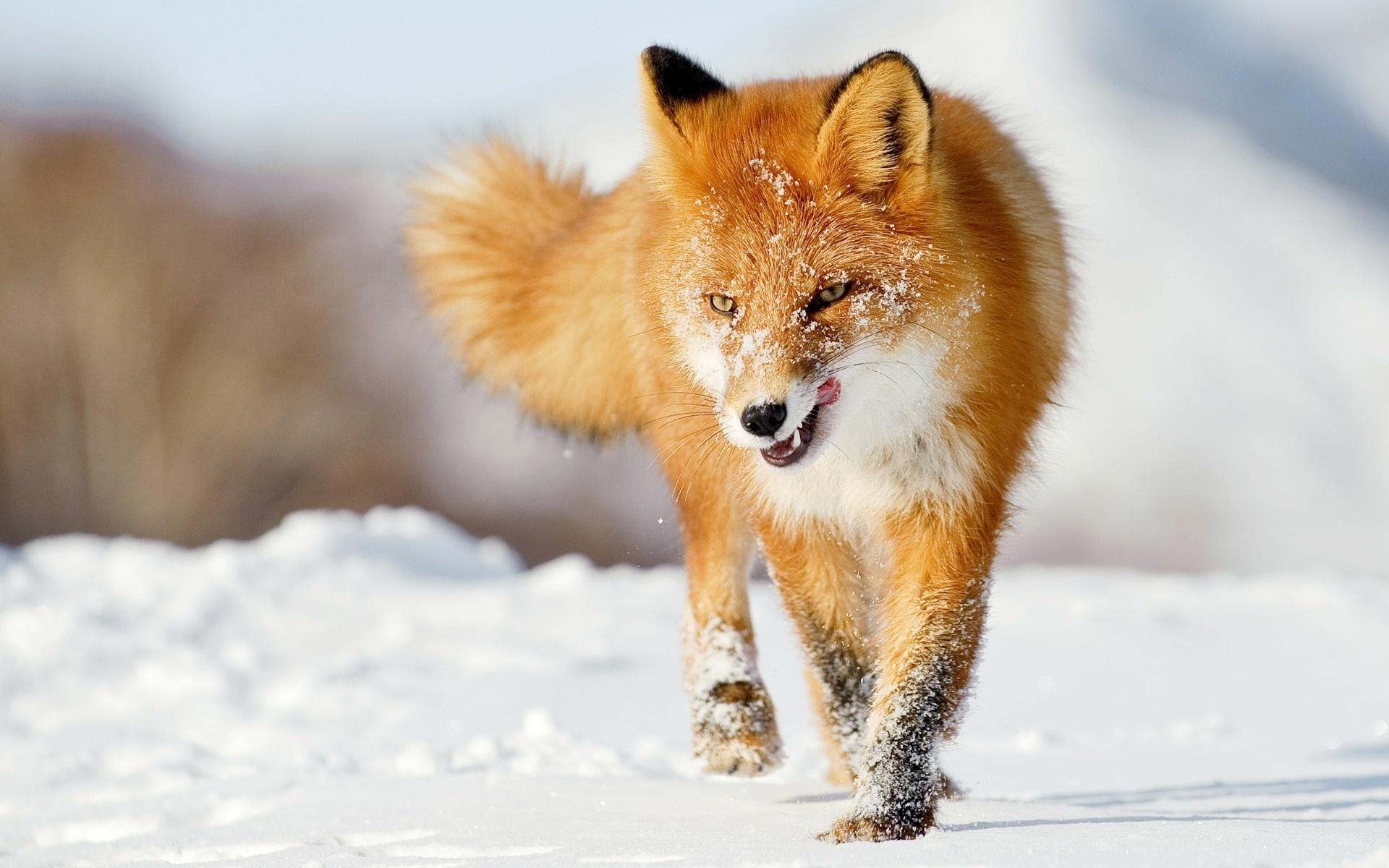 Fox Wallpaper 9