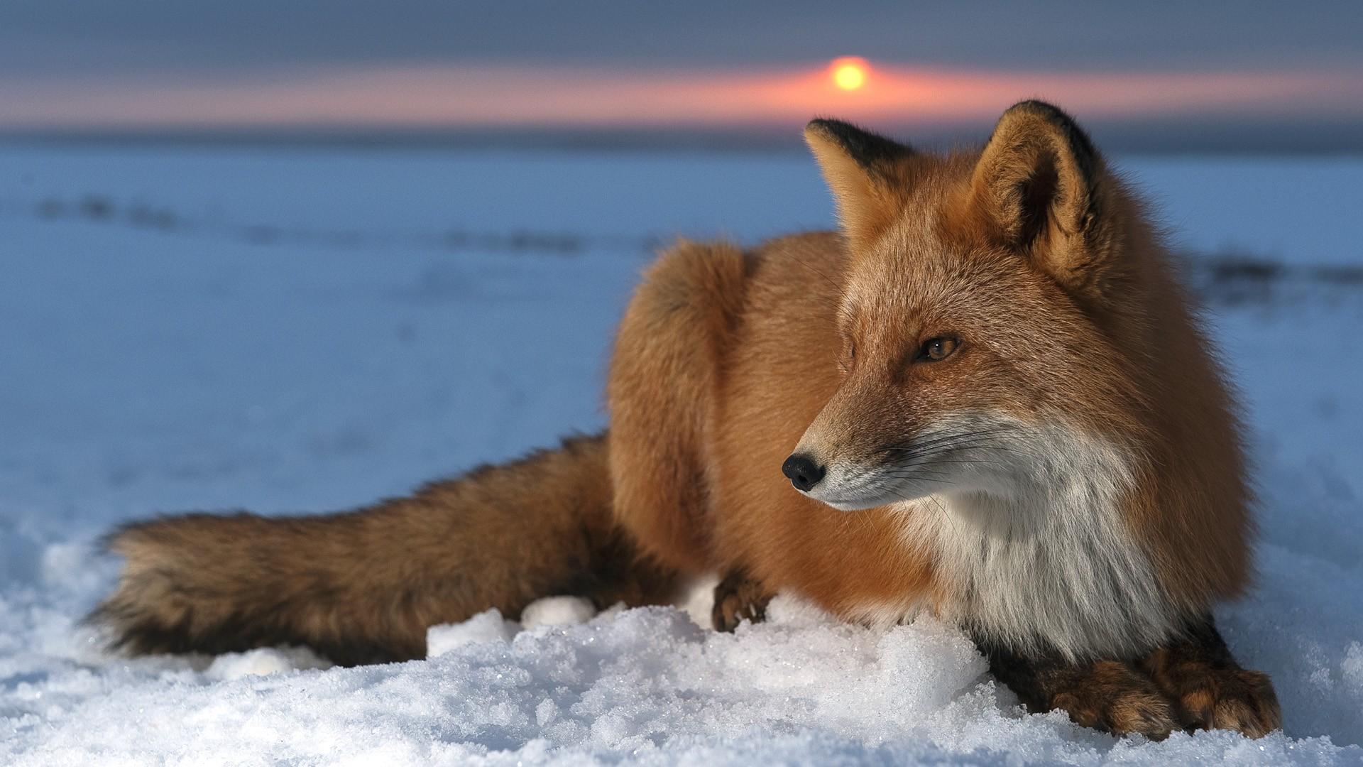 Fox Wallpaper HD