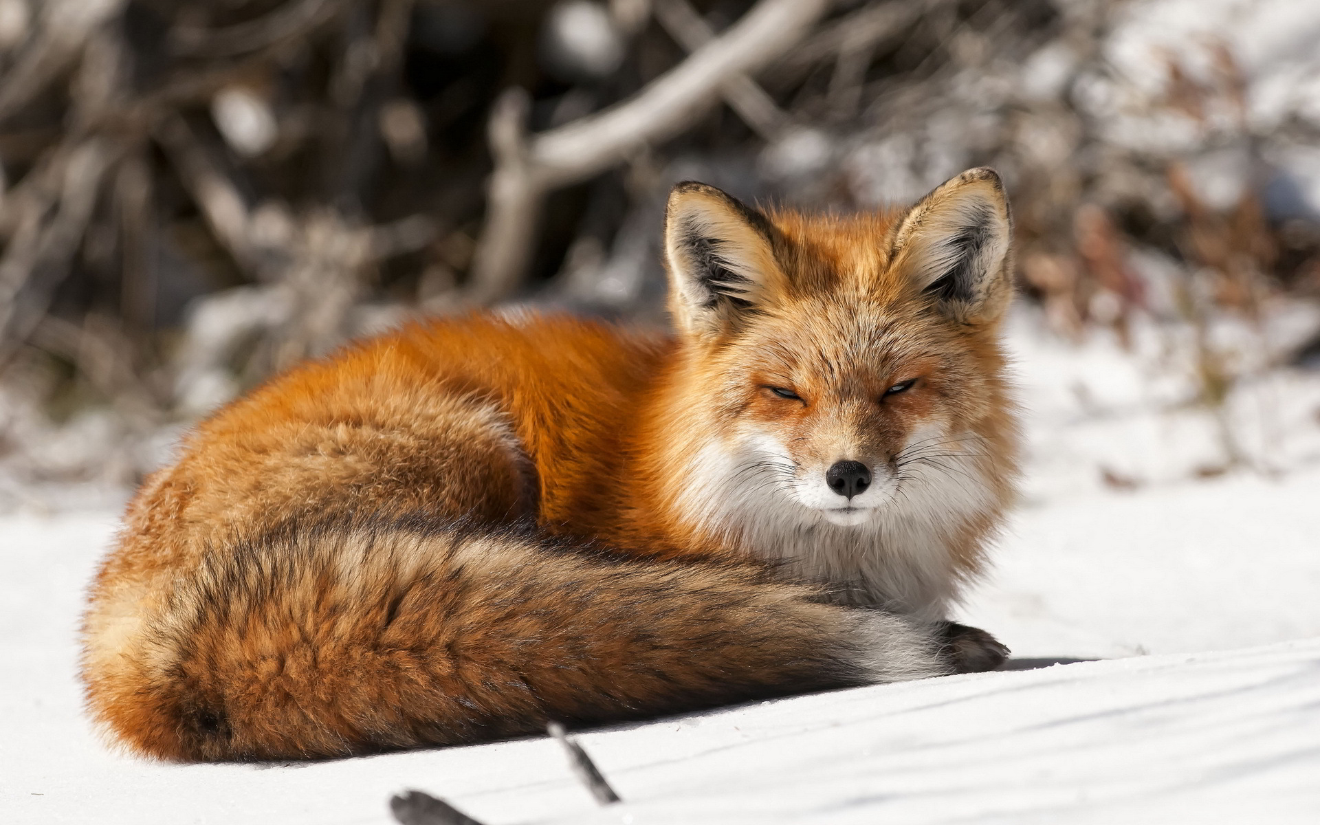 Fox winter