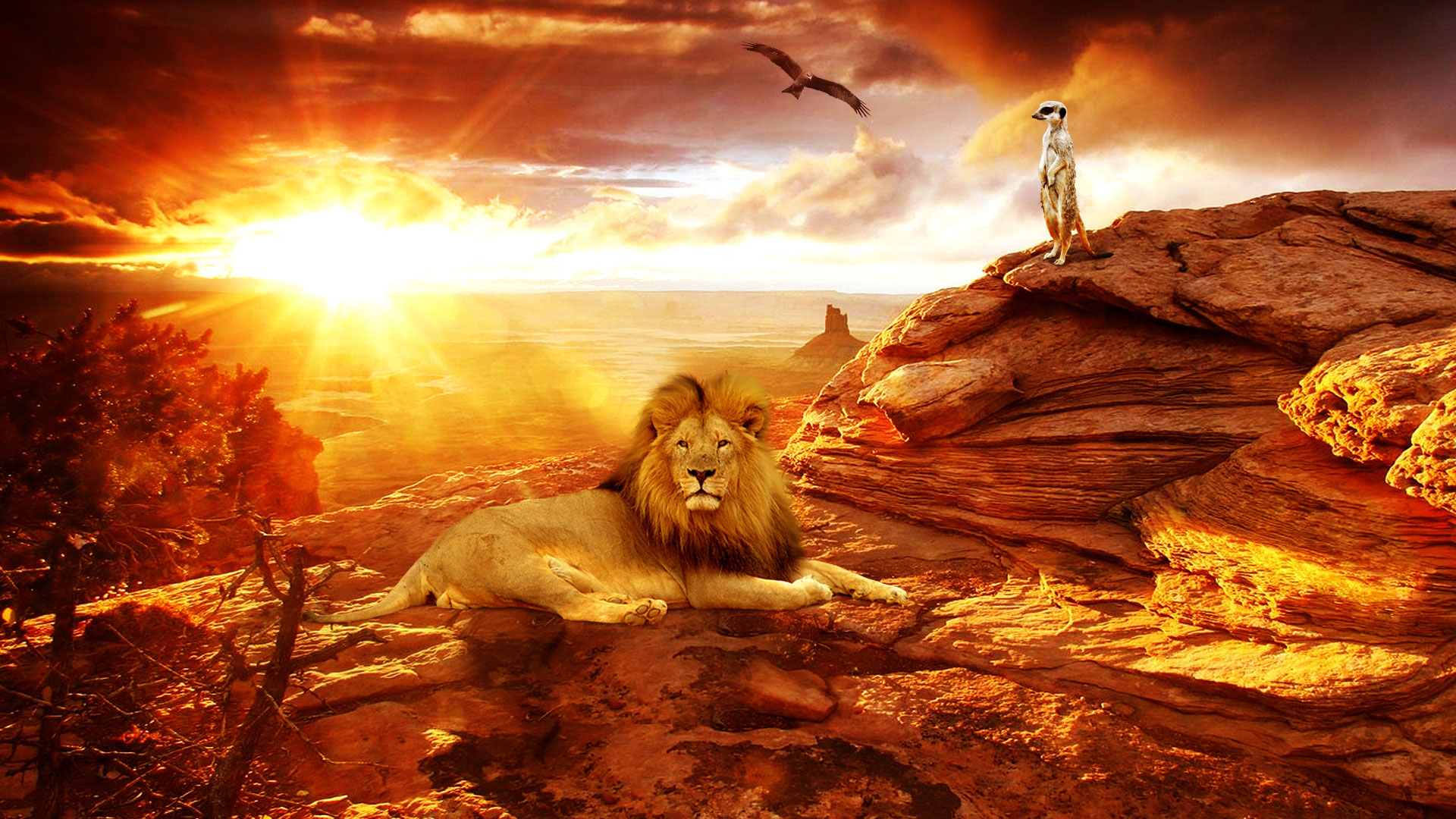 Free Wallpapers Lion in The Desert Africa Wallpaper 1920x1080px