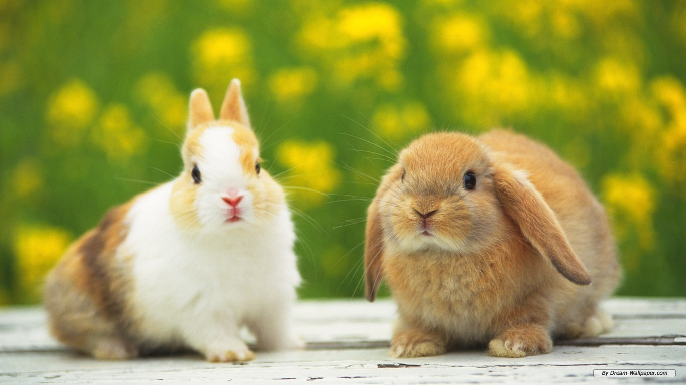 Free Animal wallpaper - Rabbit wallpaper - 1366x768 wallpaper - Index 1.