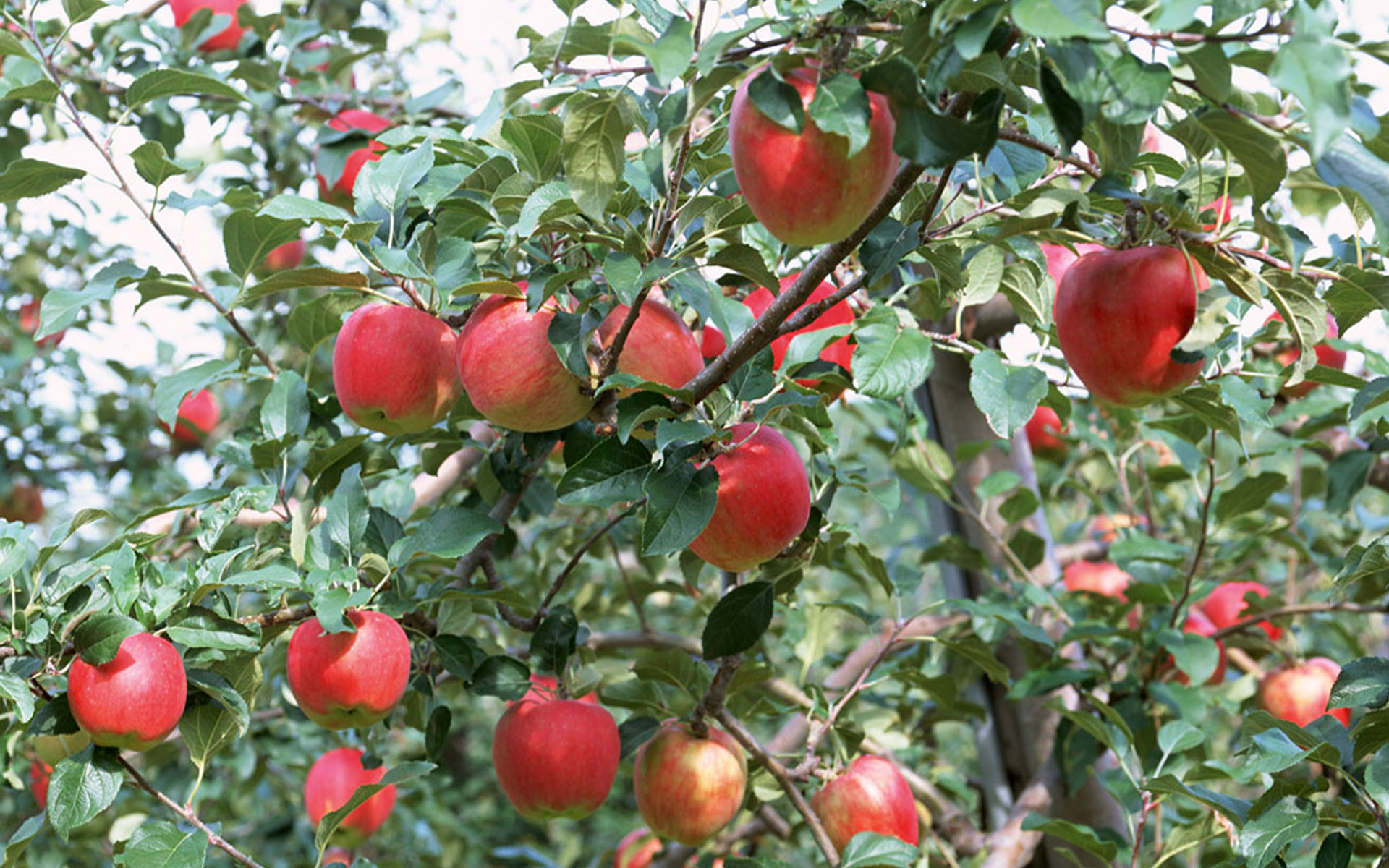 apple tree desktop new wallpaper