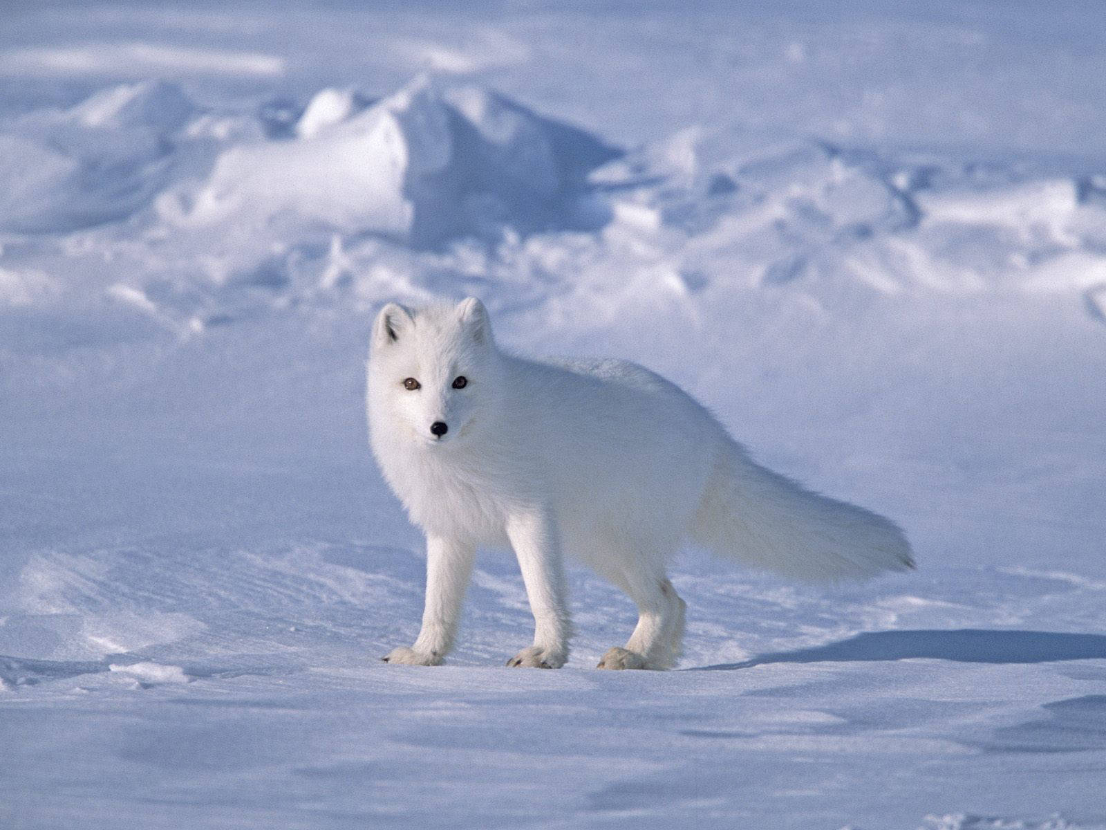 Free Arctic Fox Wallpaper