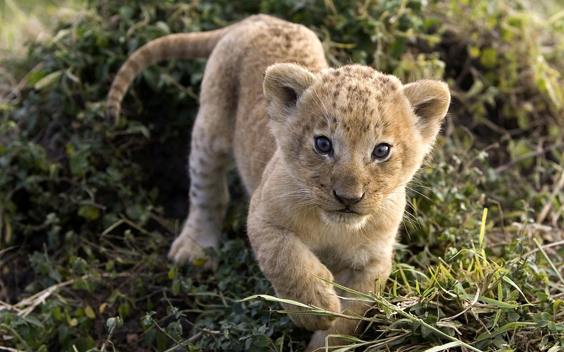 Free Baby Lion Wallpaper