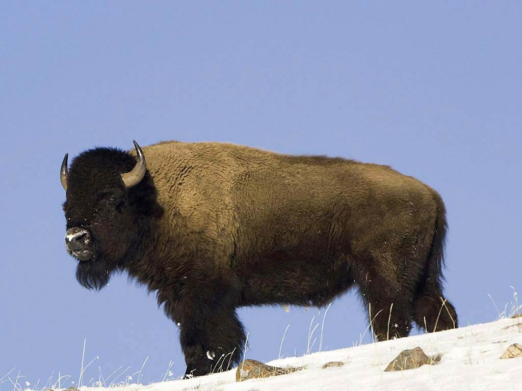 free Bison wallpaper download