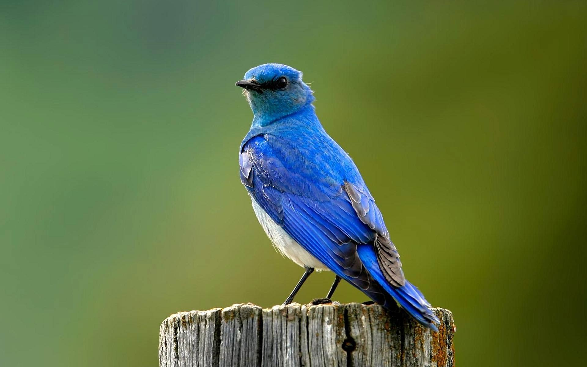 free Bluebird wallpaper wallpapers download