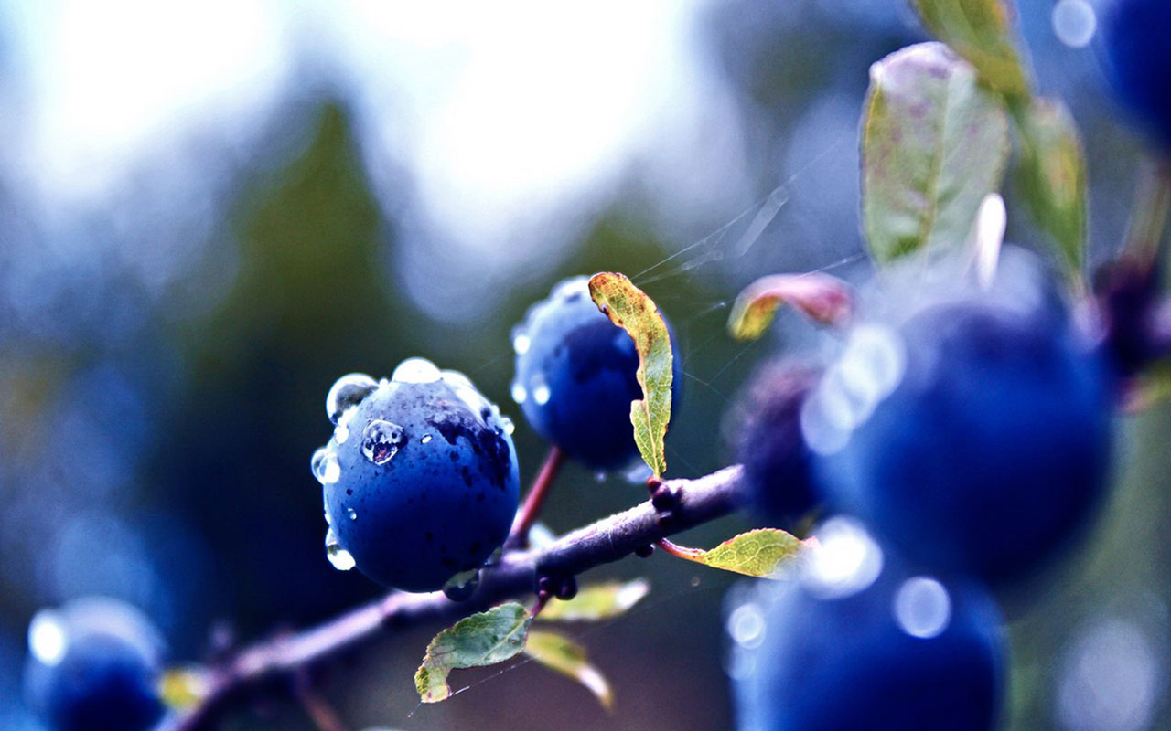 Free Blueberry Wallpaper 16009