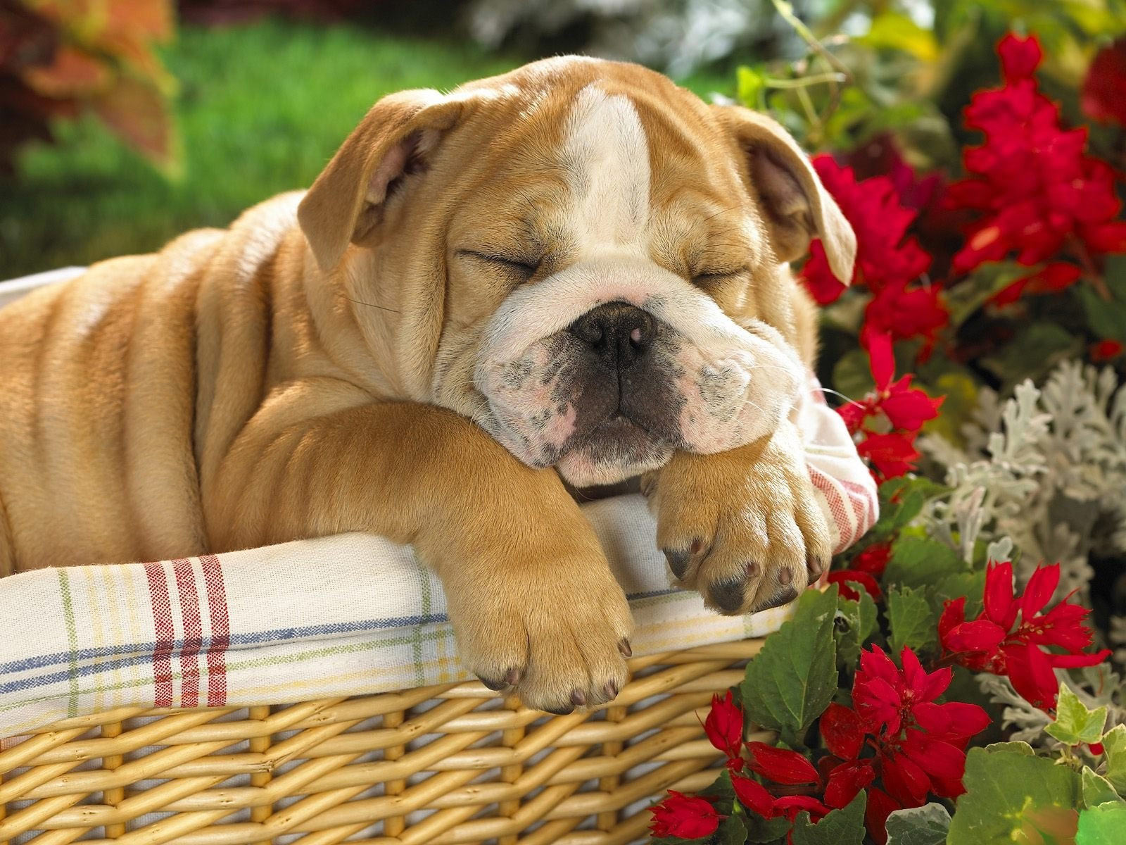 Hd free bulldog pics