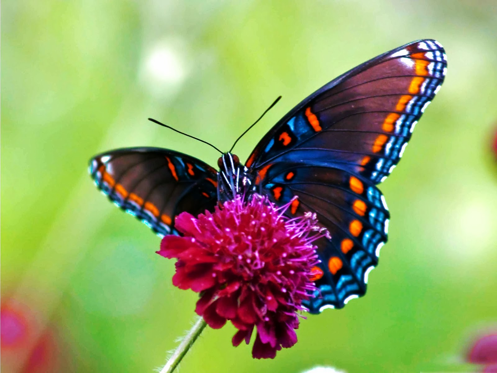 Butterfly Wallpaper 710 Images Free