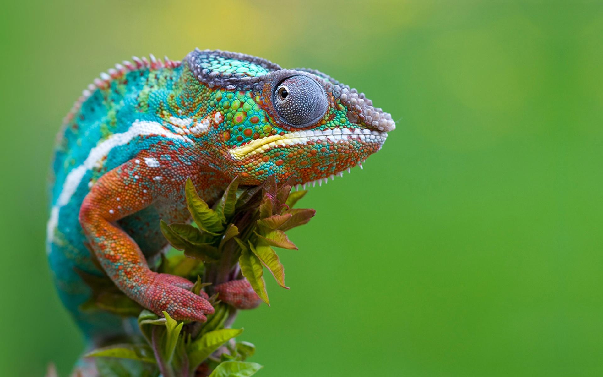 Free Chameleon Wallpaper
