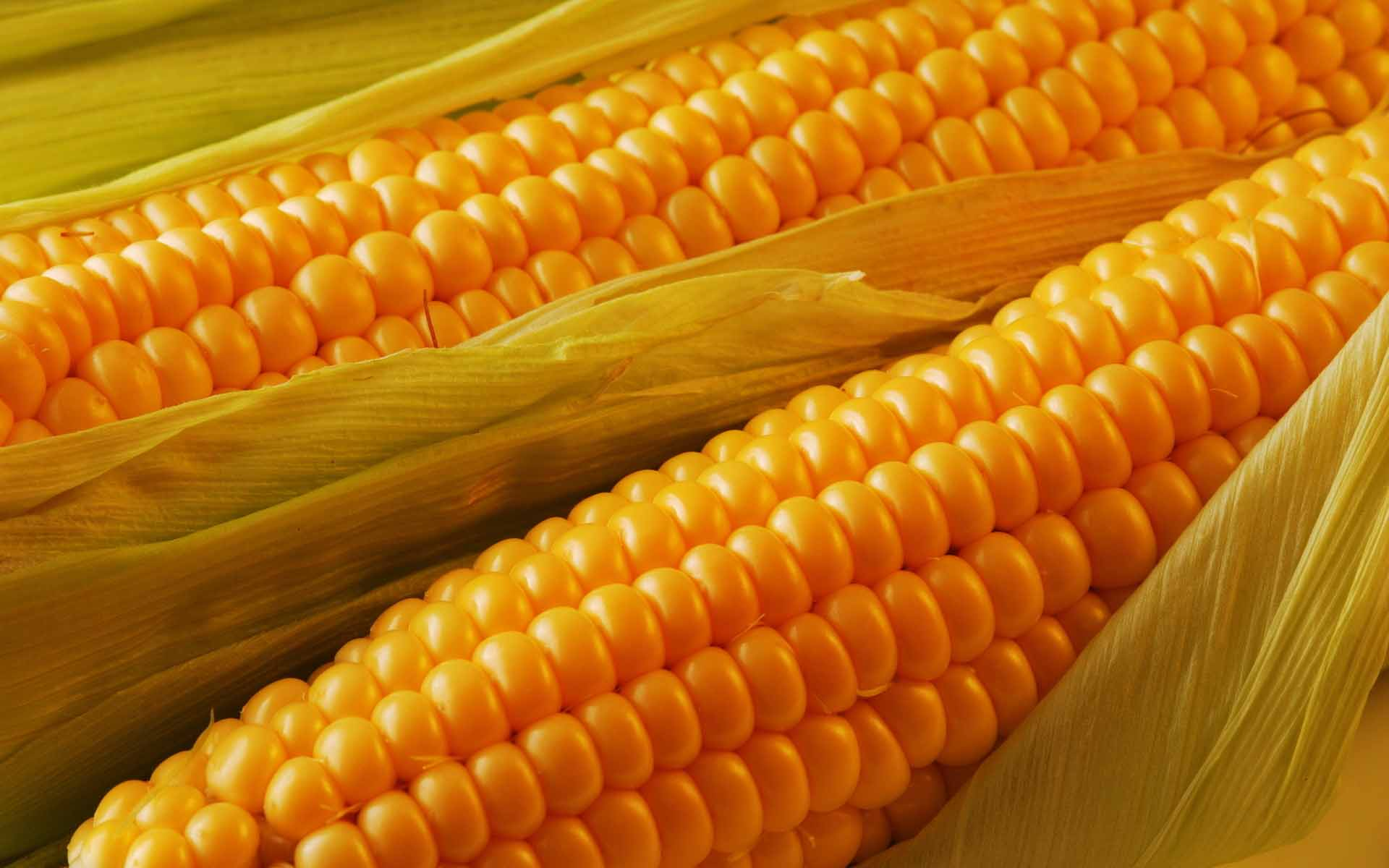 Yellow Corn Hd Wallpapers Free Download