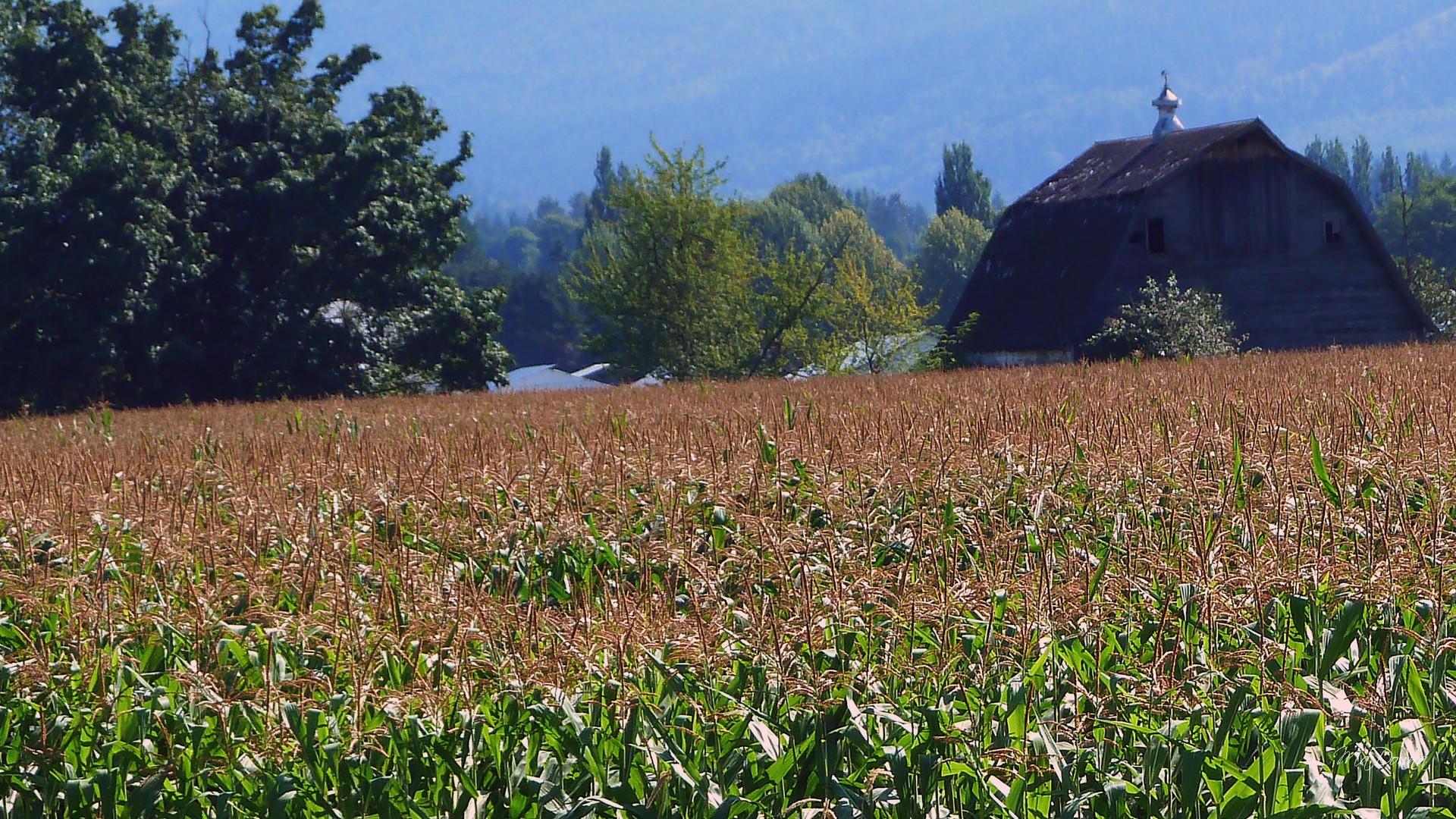August Barn Corn Field HD wallpapers