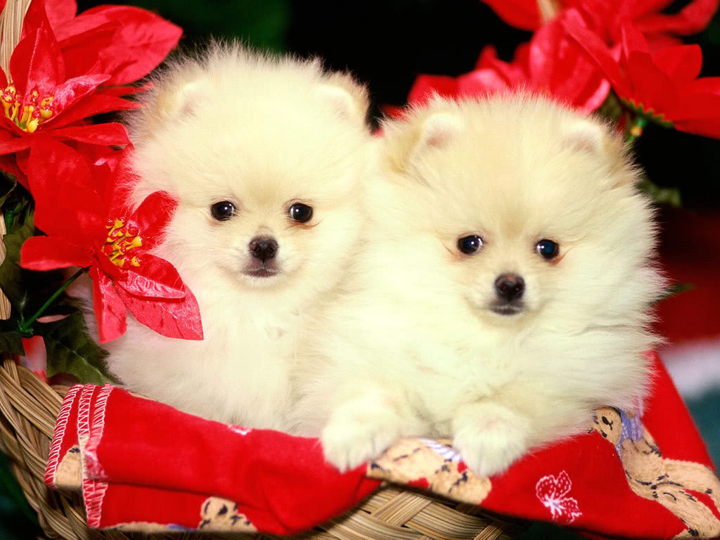 Christmas Puppy Wallpaper: Free Cute Christmas Puppies Wallpaper Wallpapers Hd 1024x768px