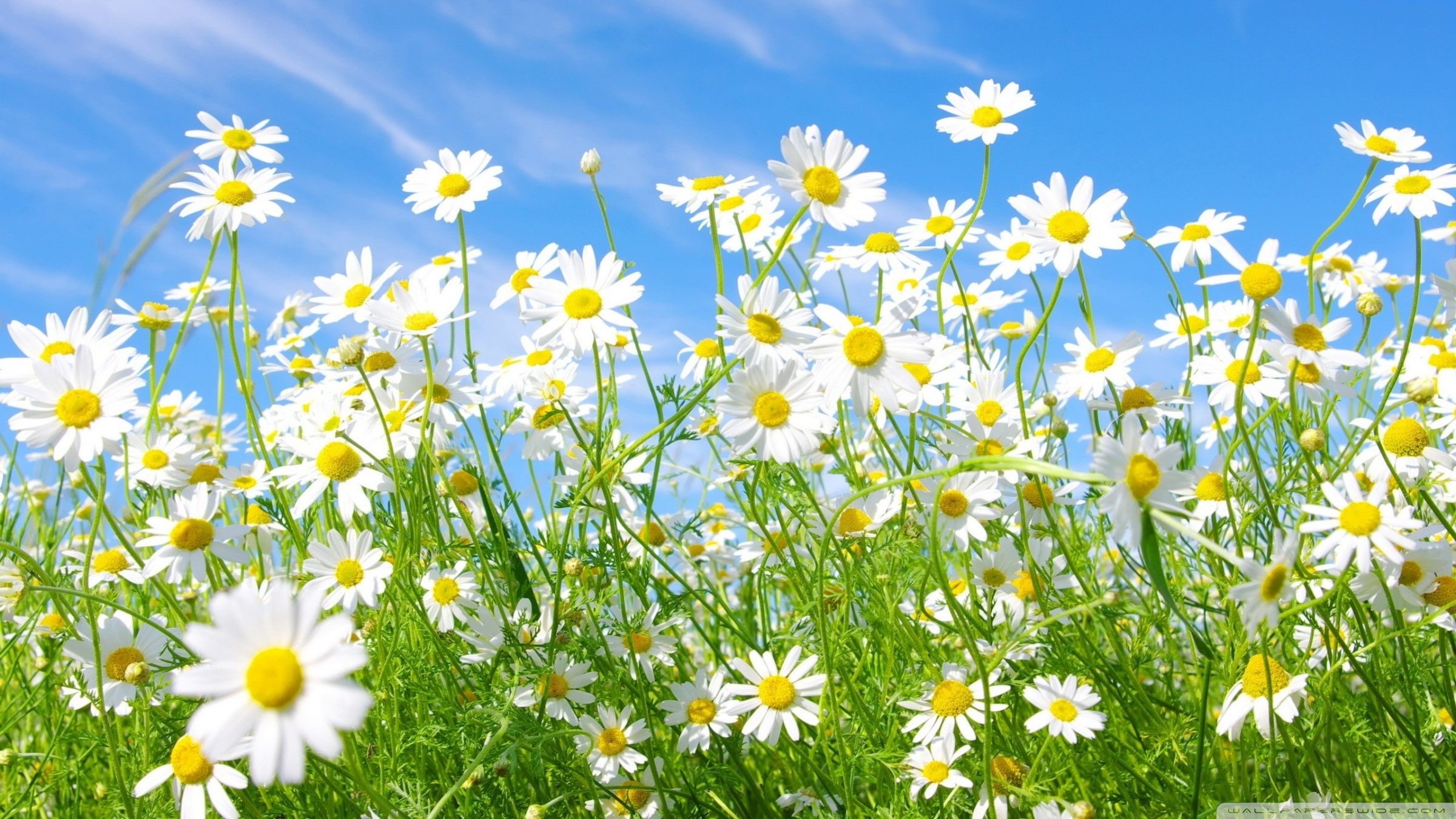 Free Daisies Wallpaper