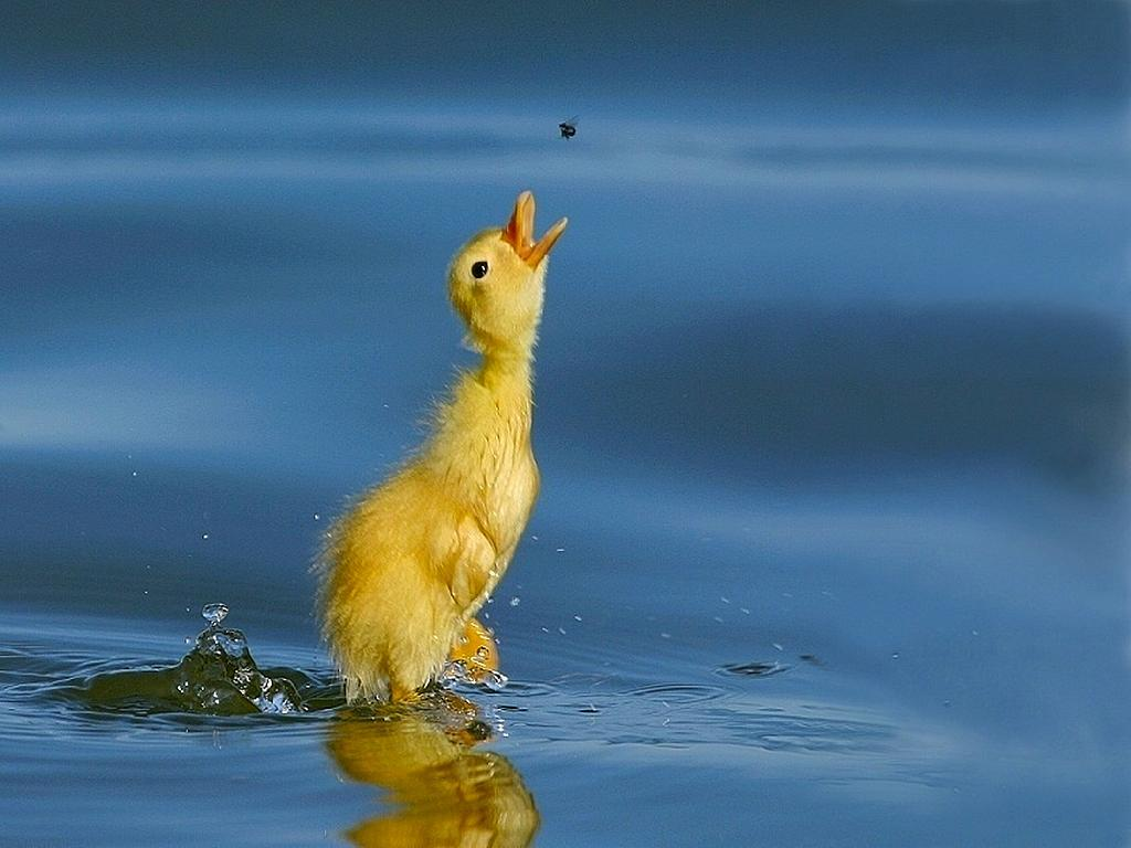 awesome awesome cute baby duck hd wallpapers beautiful duck images