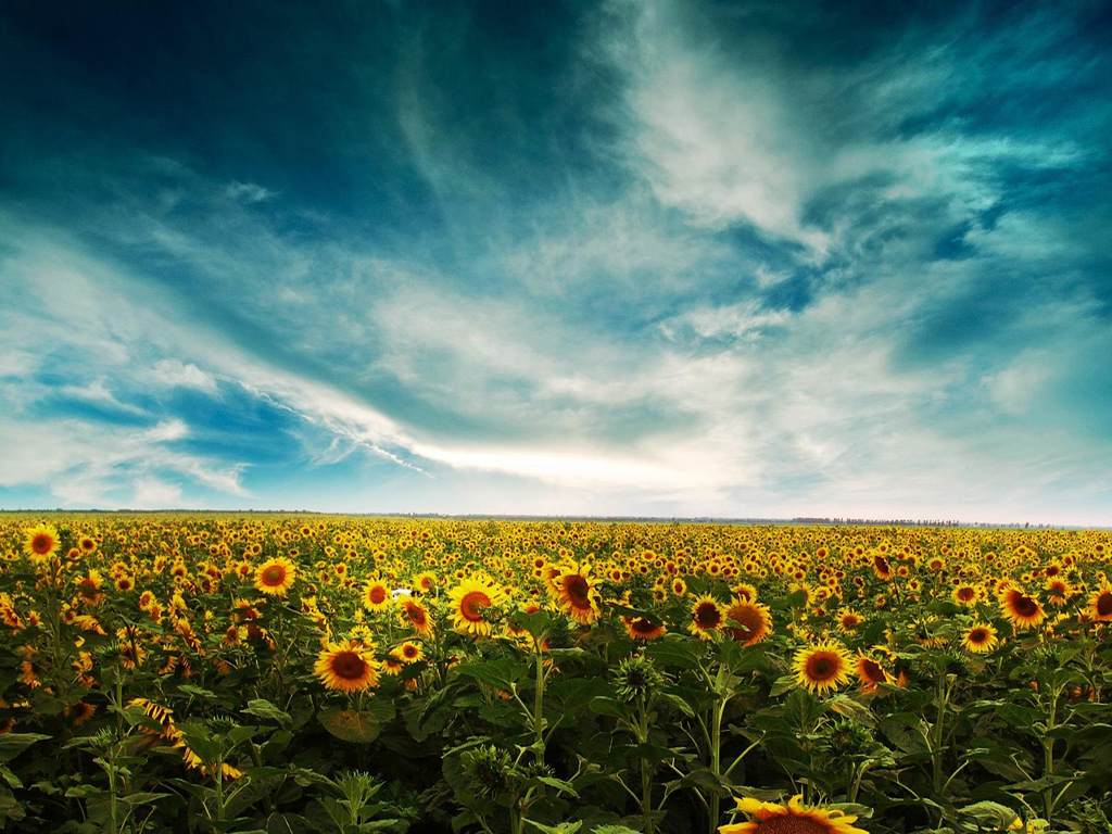 Sunflowers Field, free beautiful wallpaper download for your desktop or laptop.