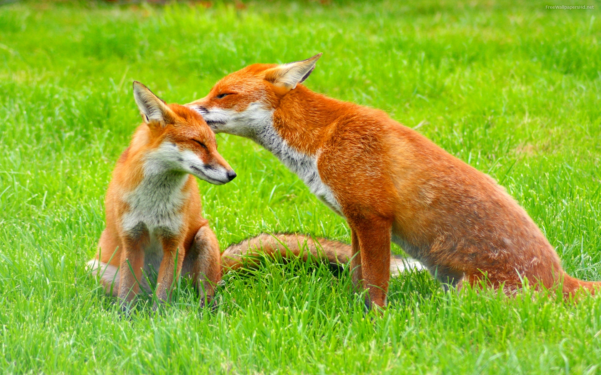 DOWNLOAD: red-fox-wallpapers-free-picture free picture 2560 x 1600