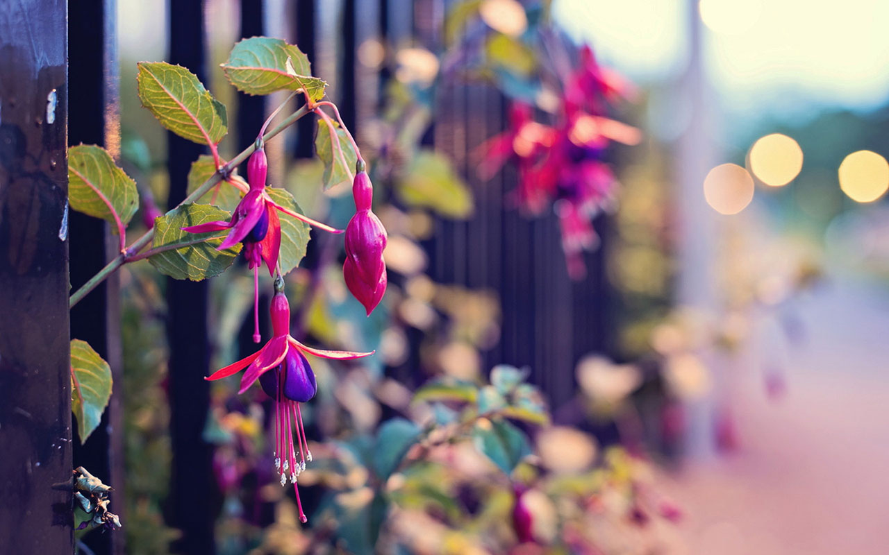 Free Fuchsia Wallpaper