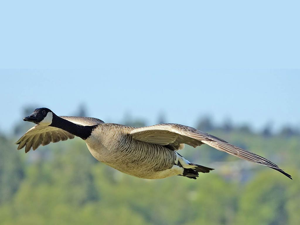 free Goose wallpaper wallpapers download
