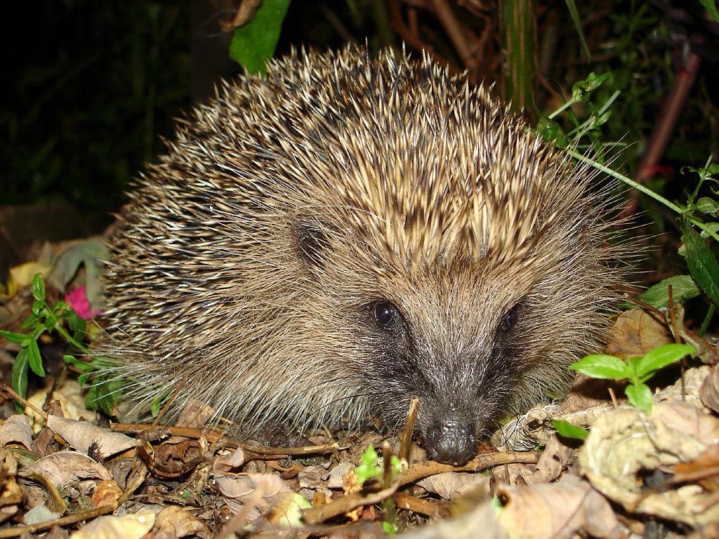 free Hedgehog wallpaper wallpapers download