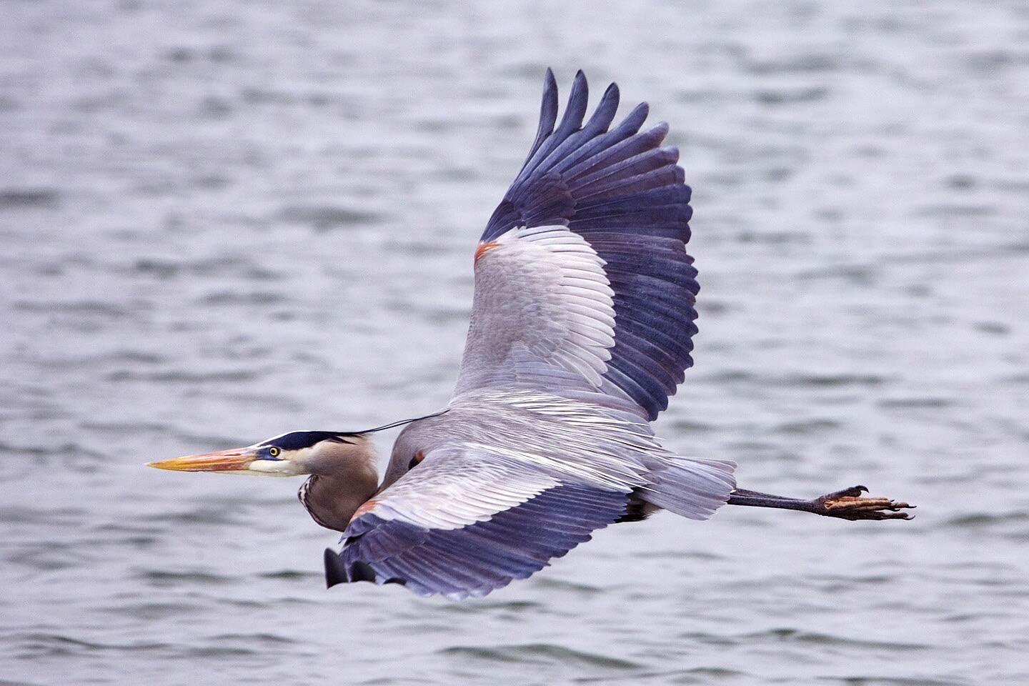 free Great Blue Heron wallpaper wallpapers download
