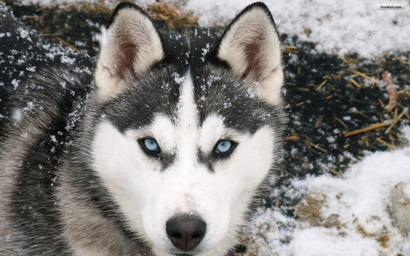Husky Wallpaper: Terrific Funny Husky Wallpaper Hd Animal Pictures 1440x900px