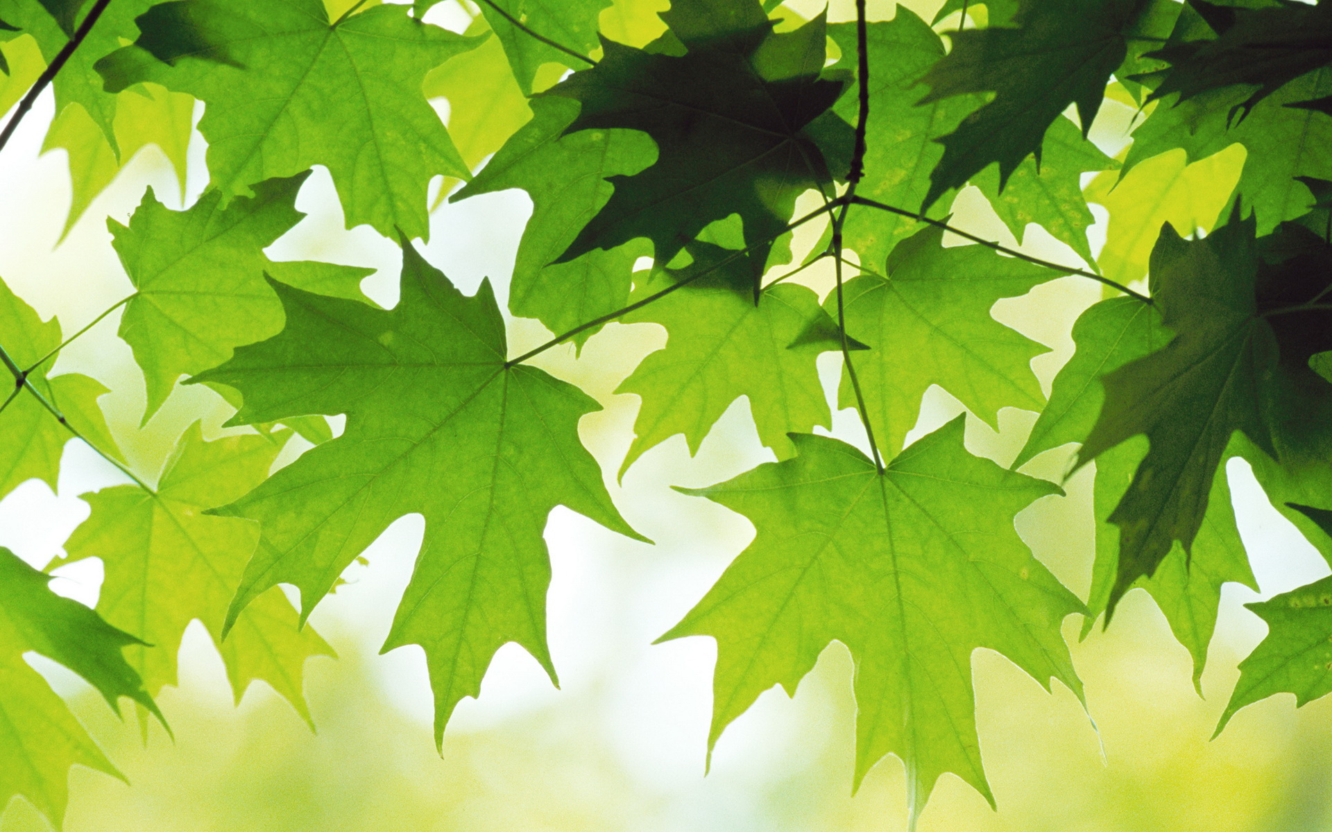 Free Leaves Background