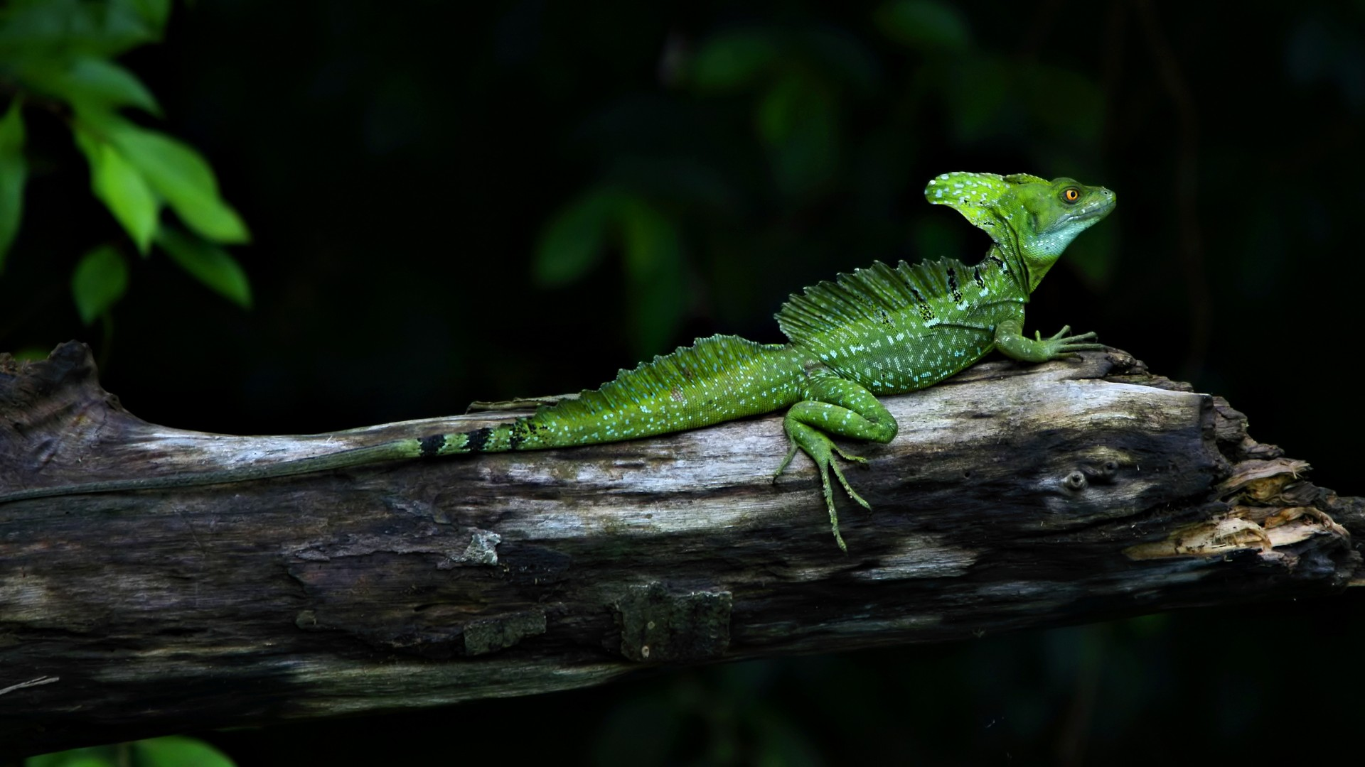 beautiful green lizard high definition wallpaper