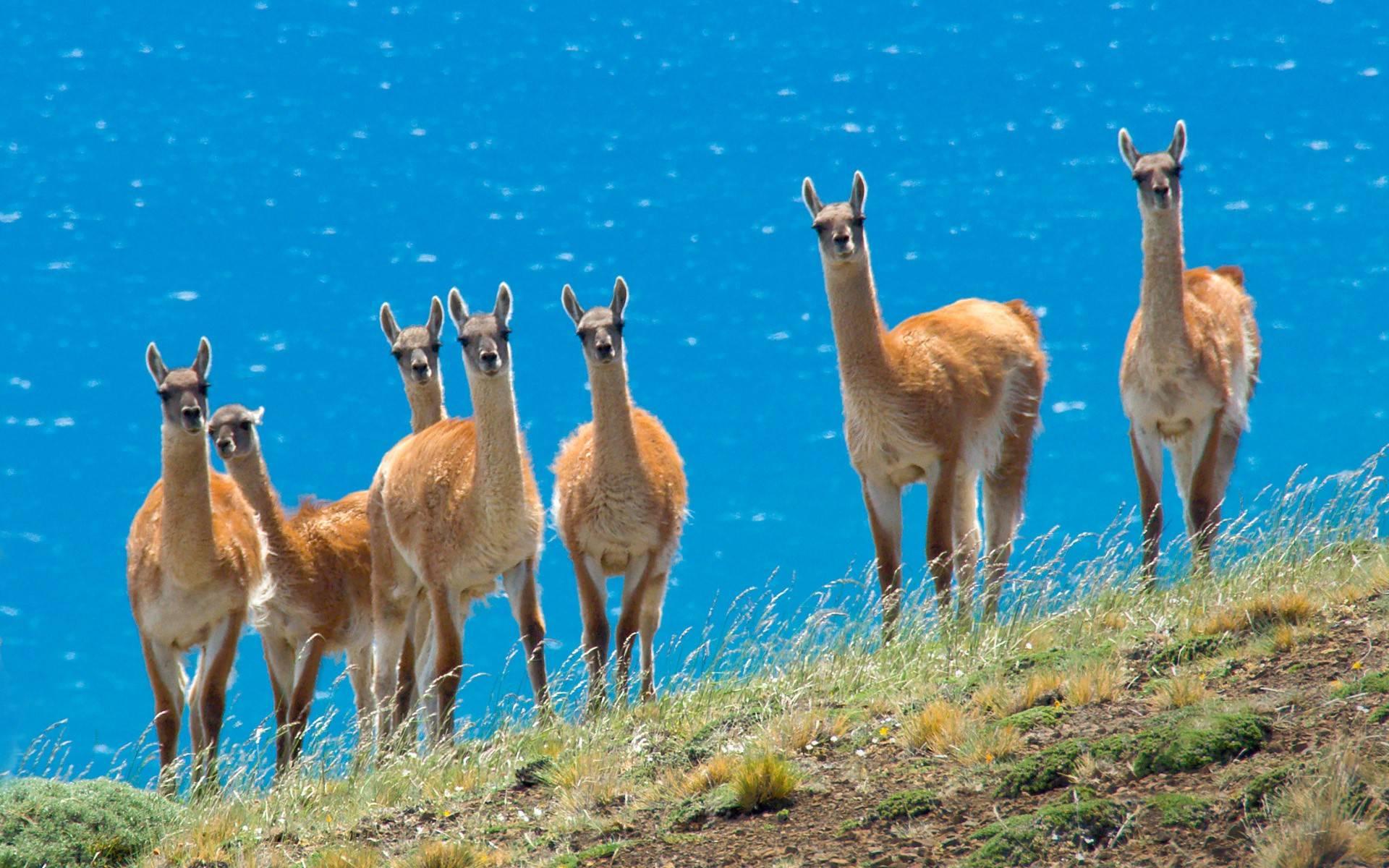 ... Llama Wallpaper ...