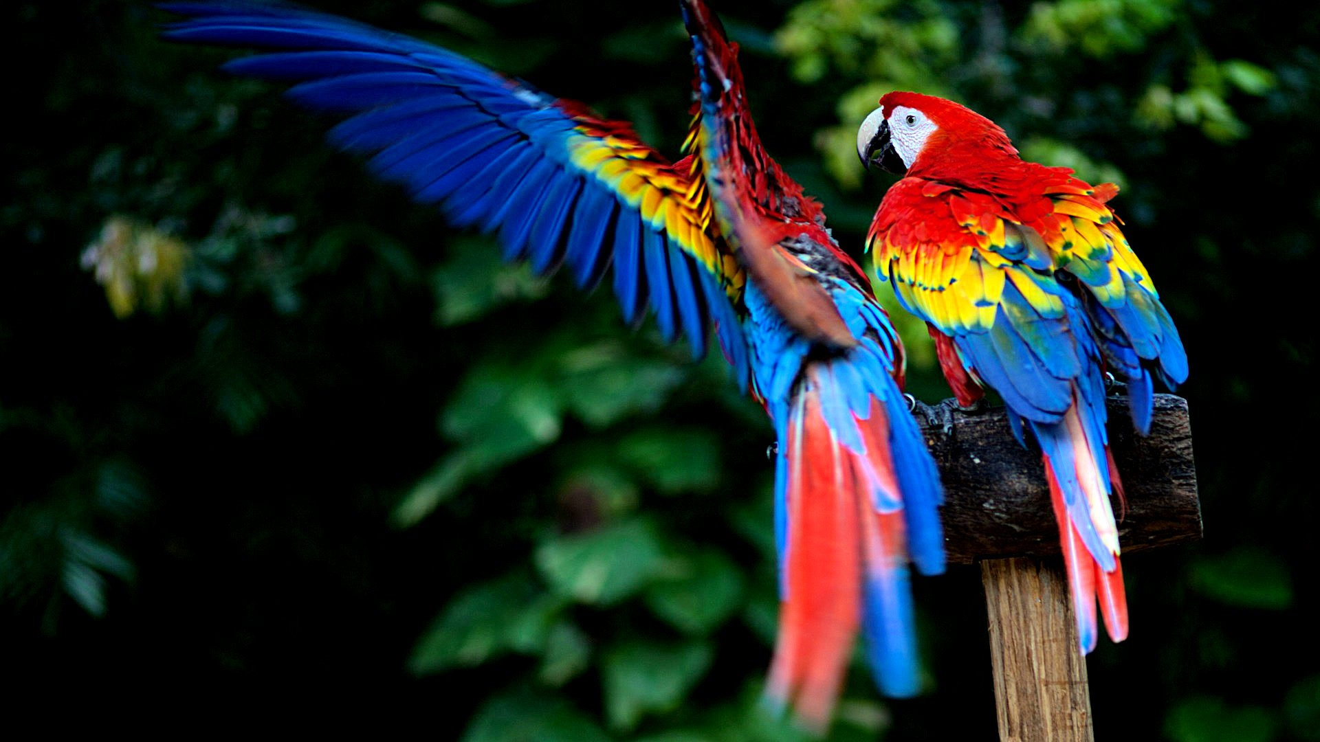Macaw Wallpaper 122