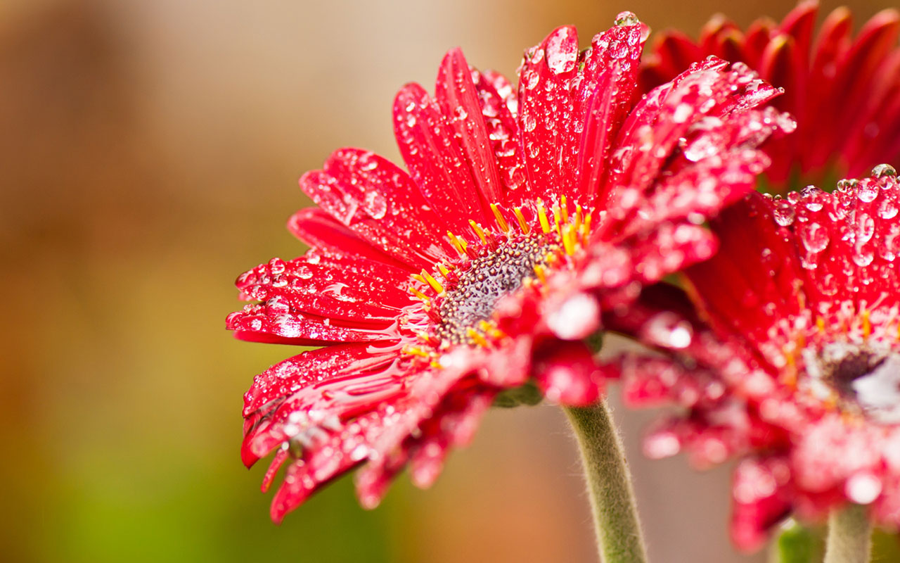 Free Macro Flowers Wallpaper