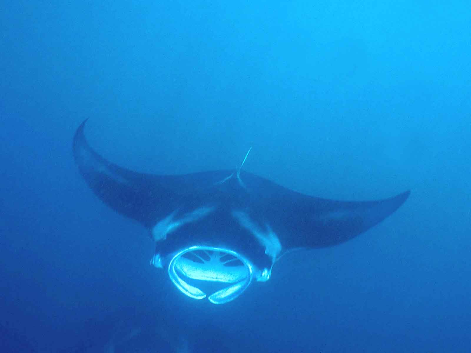 free Manta Ray desktop wallpaper wallpapers Desktop and Mobile