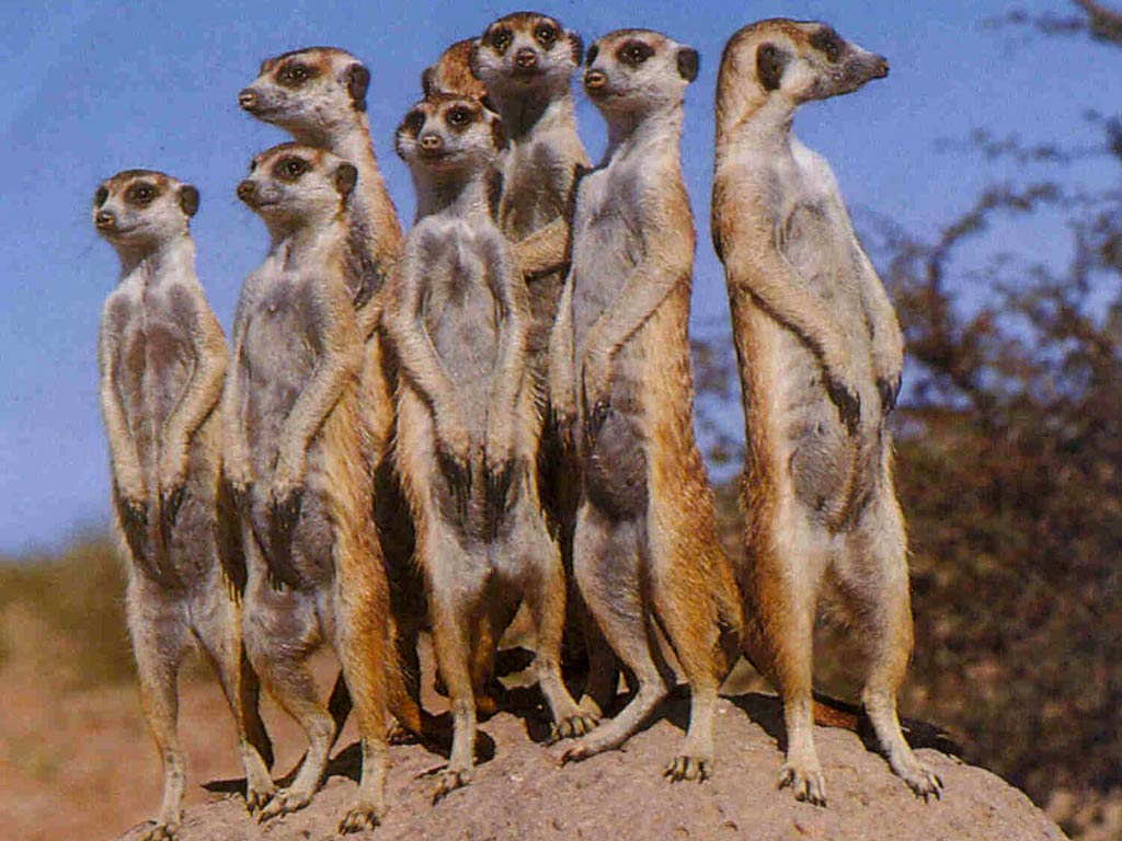 free Meerkat wallpaper wallpapers download