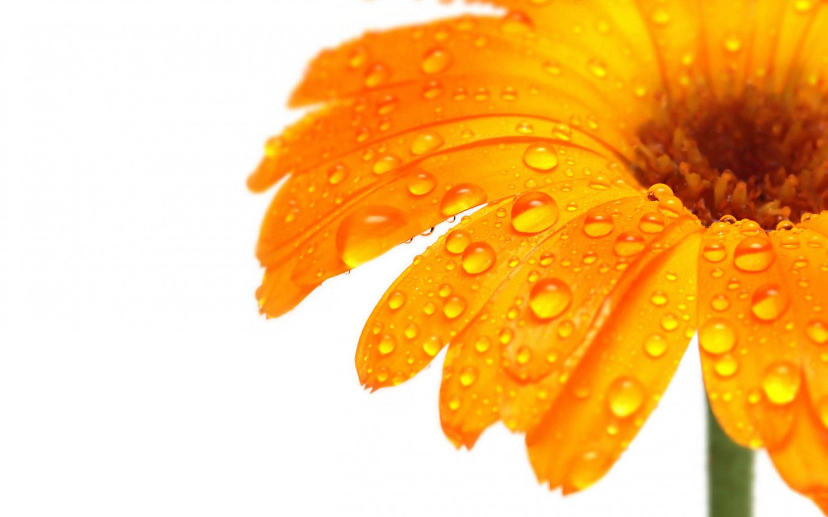 Free Orange Flowers Wallpaper 10444