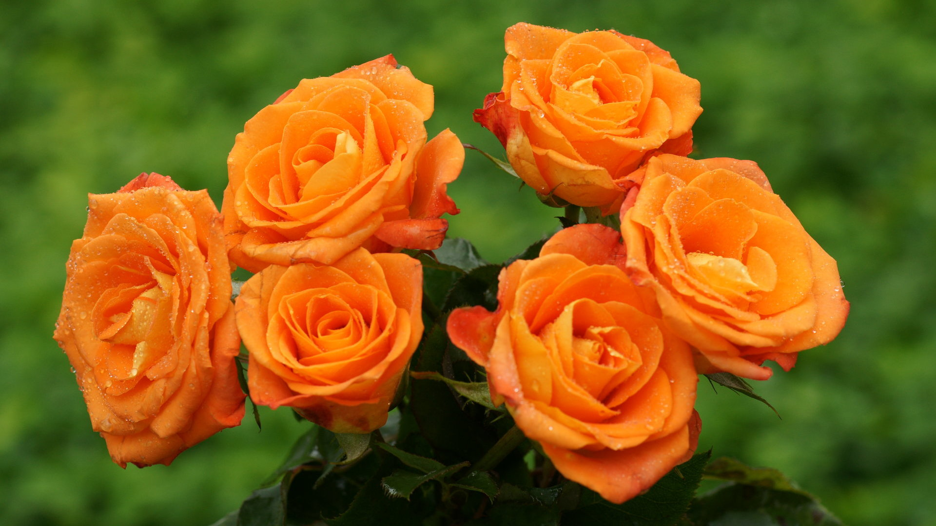 Free Orange Roses Wallpaper