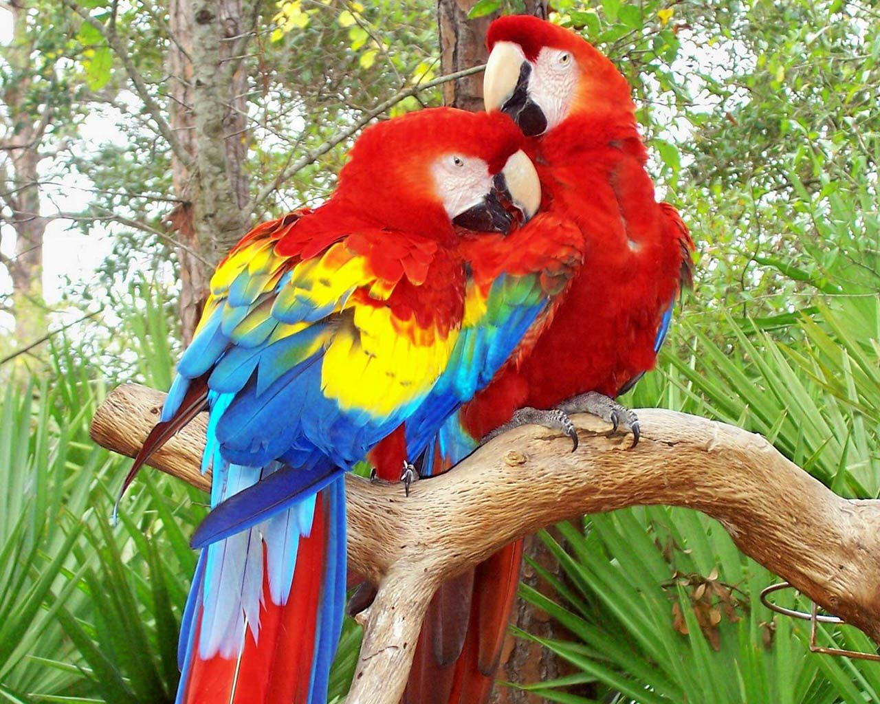 Free Parrot Wallpaper