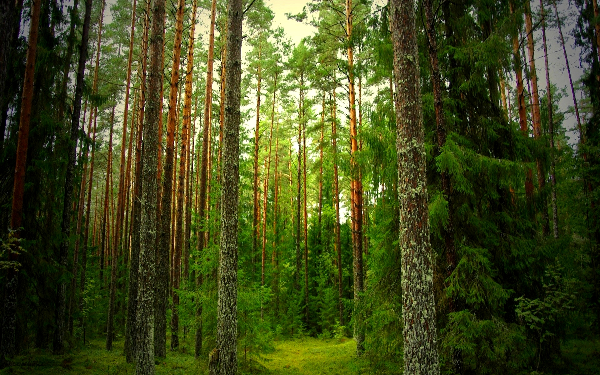 Free Pine Forest Wallpaper