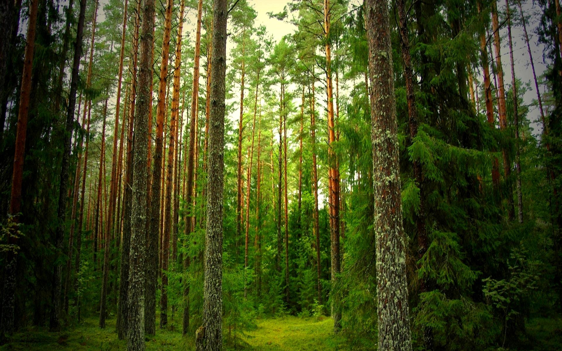Fantastic Pine Forest Wallpaper 13695