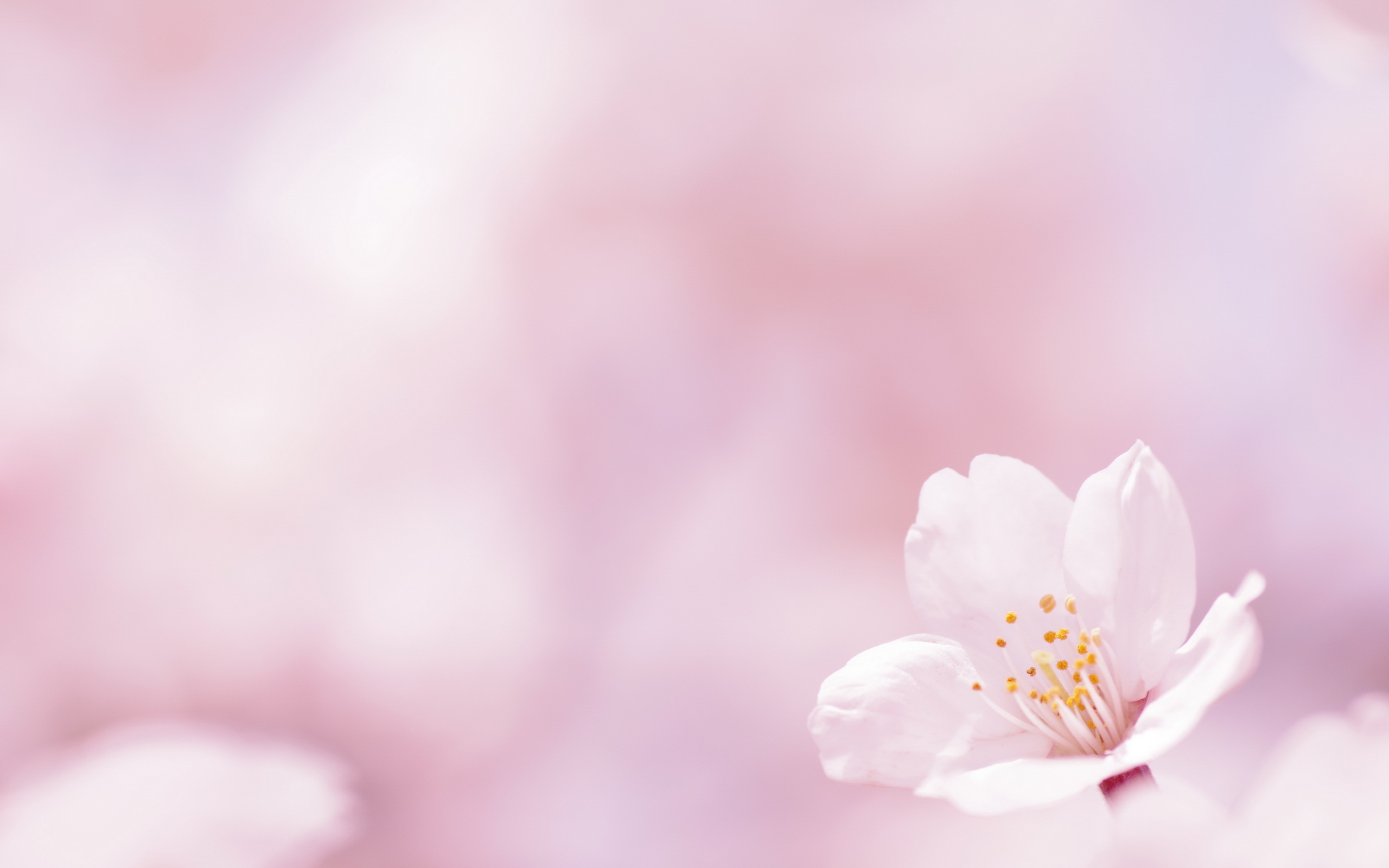 Free Pink Flowers Wallpaper 2560x1600 83307