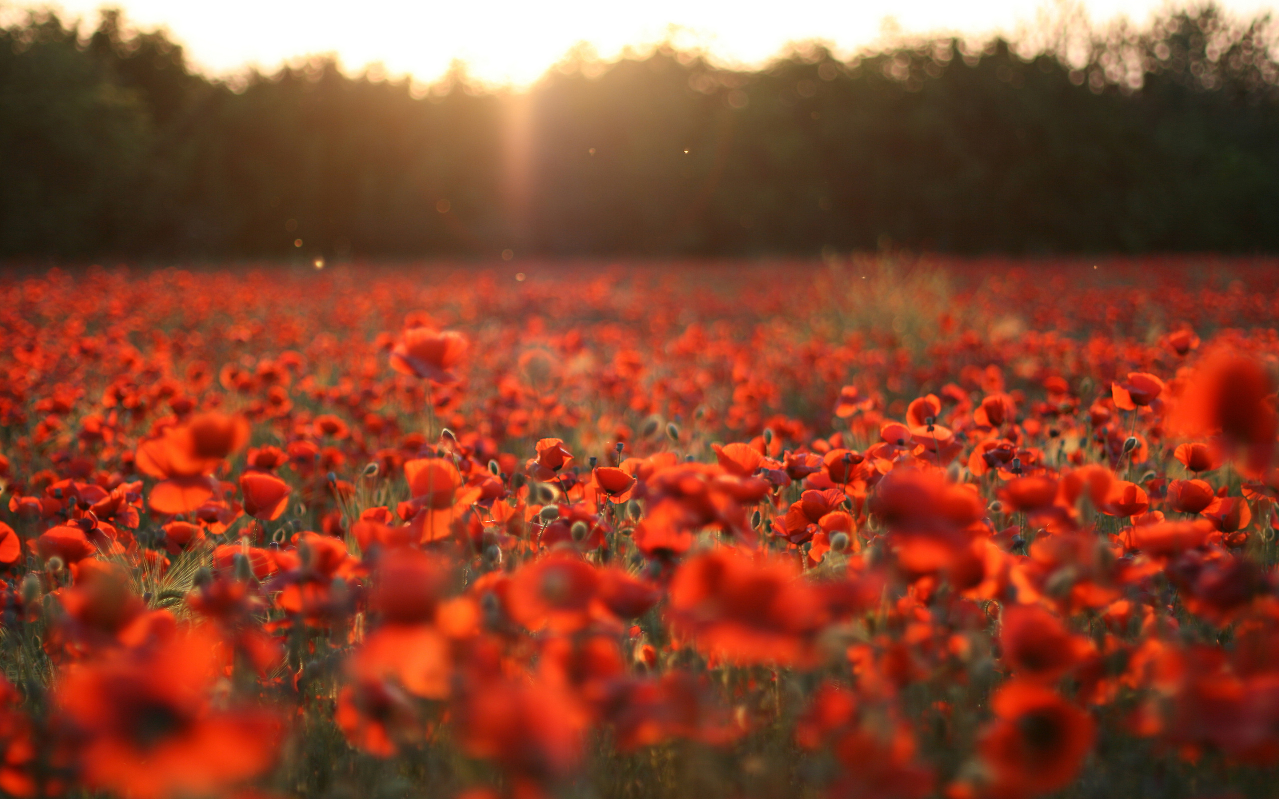 Free Poppy Field Wallpaper