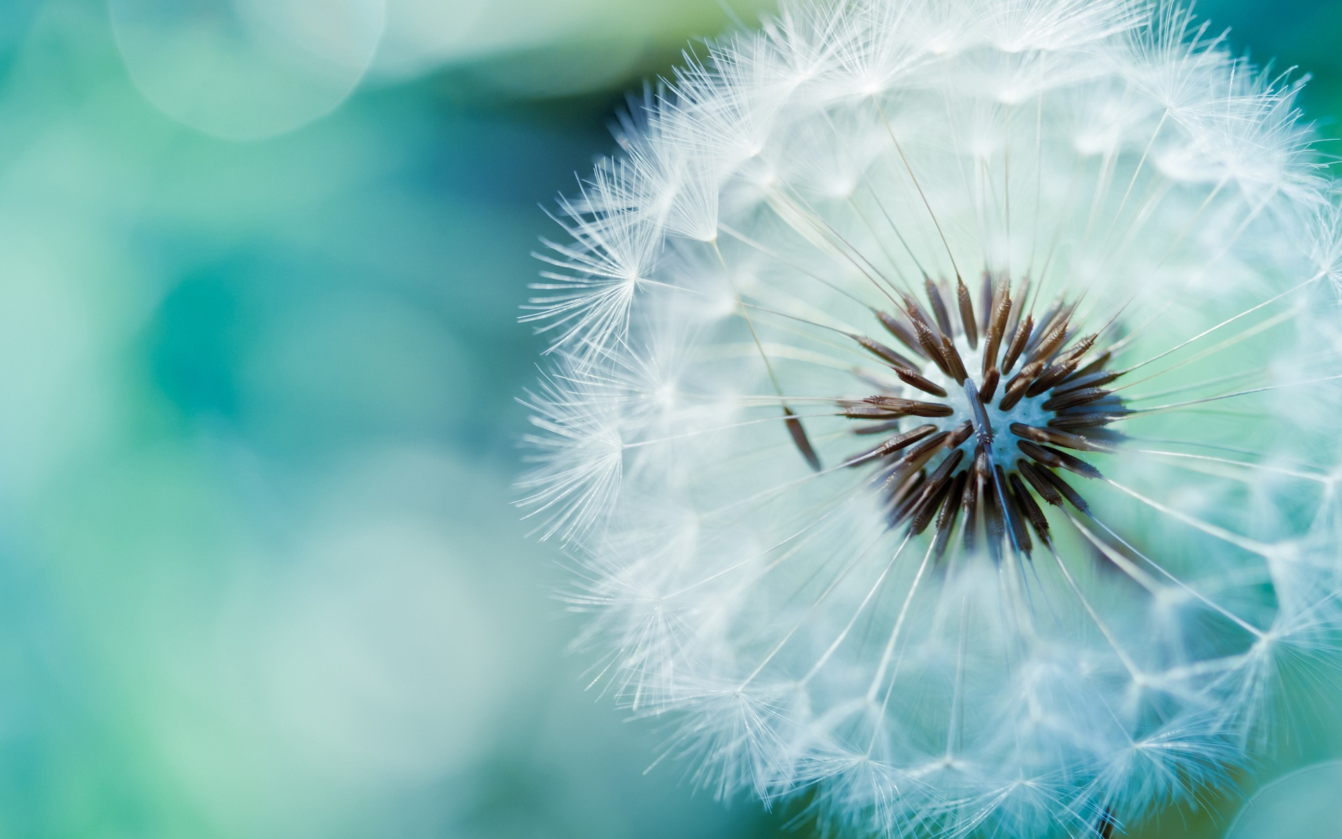 Dandelion Flower Hd Wallpaper Pretty Backgrounds Wide Xpx