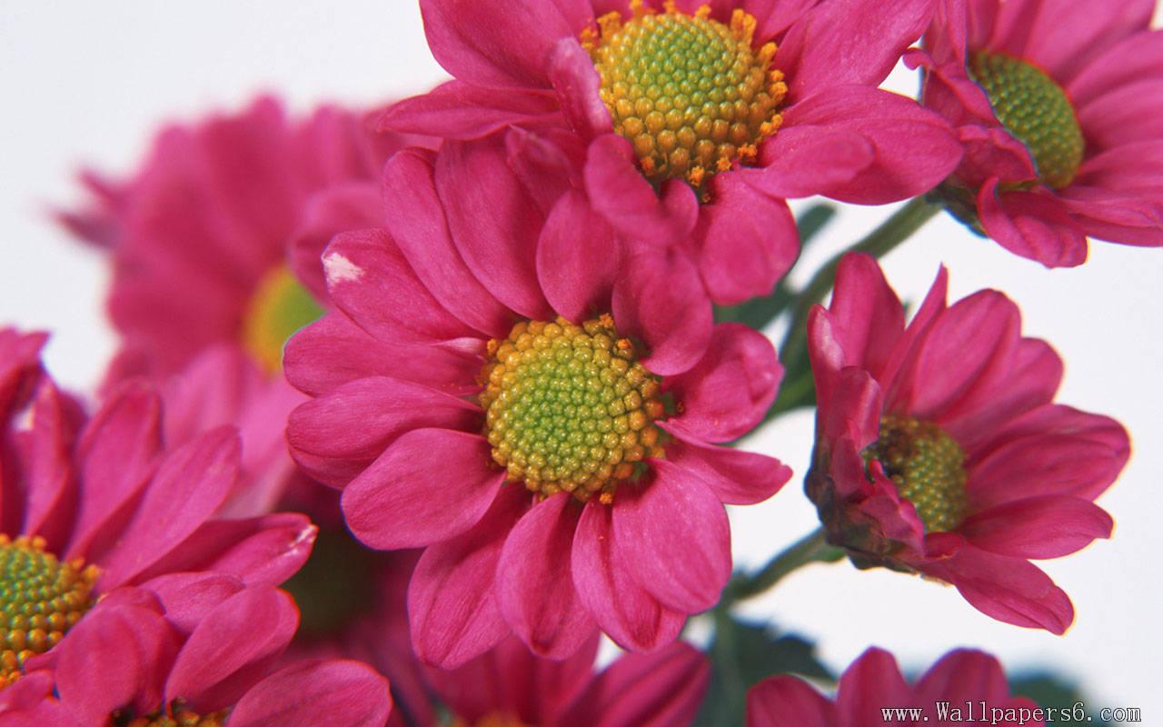 Free Pretty Flowers Wallpaper
