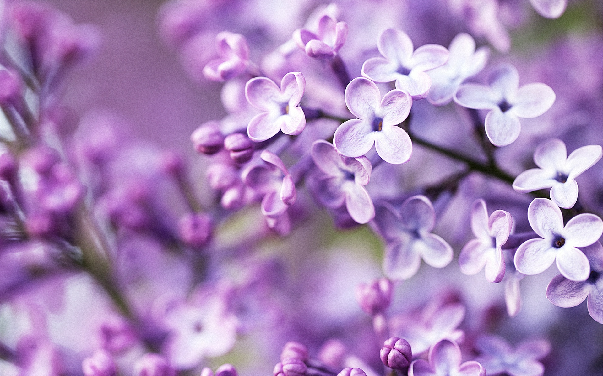 Spring Purple Flowers Hd Wallpapers High Definition