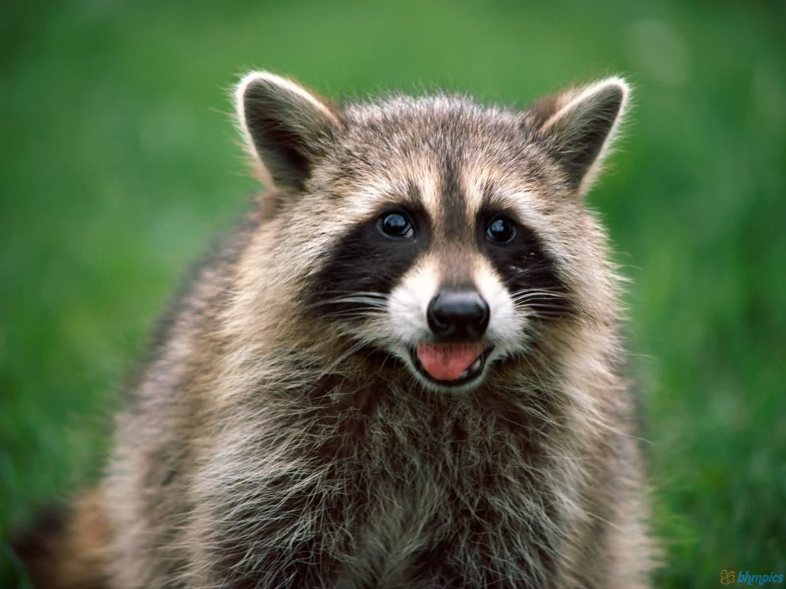 These free downloadable wallpapers are HD and available varying range of sizes and resolutions. Download Raccoon HD Wallpapers absolutely free for your ...
