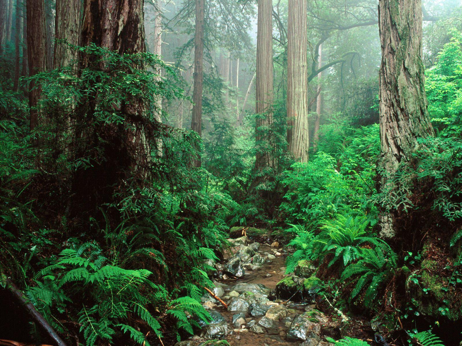 Free Redwood Wallpaper