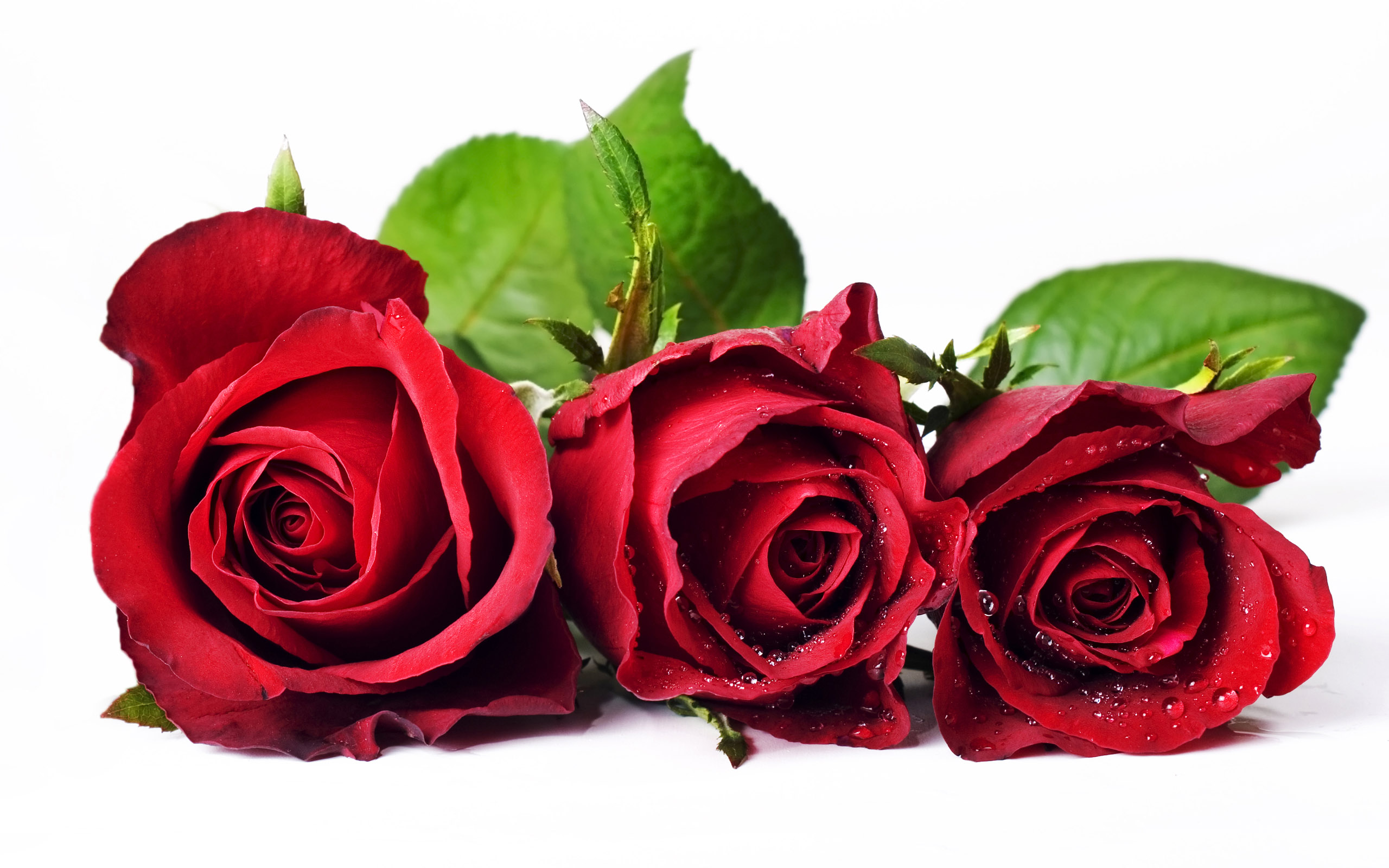 Rose Flowers Wallpapers Free Download Hd Pictures 4 HD Wallpapers