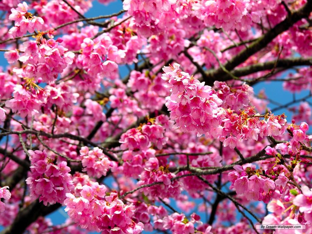 Cherry Blossom Flower Desktop Wallpapers For Free